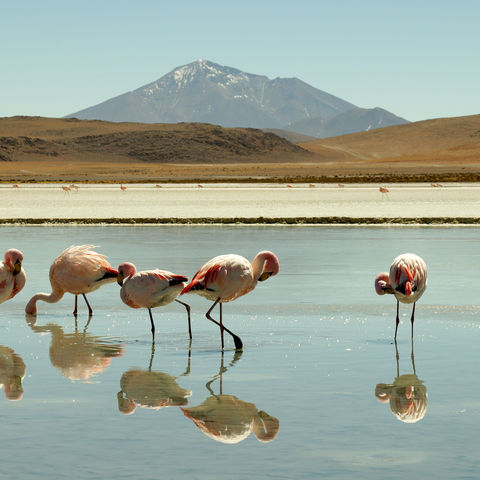 Flamingos in der Laguna Colorada, Bolivien