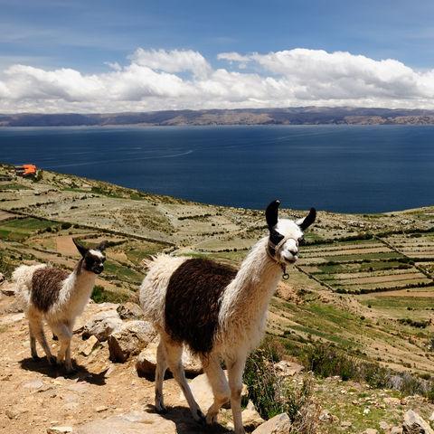 Lamas auf der Isla del Sol © Rafał Cichawa, Dreamstime.com