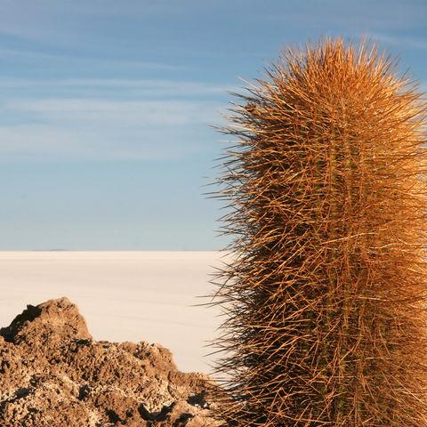 Ein Kaktus der Isla de Pescadores und das Salzmeer Uyunis, Bolivien