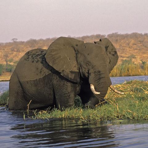 Afrikanischer Elefant erfrischt sich im Flussbett, Botswana