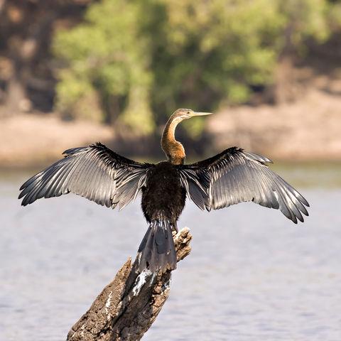 Afrikanischer Schlangenhalsvogel, Botswana