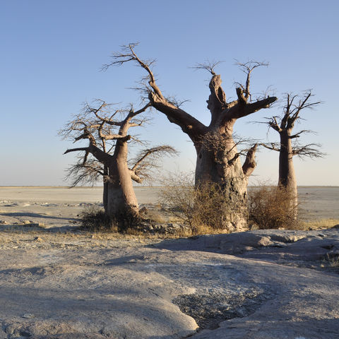 Baobab-Bäume im Sonnenaufgang, Botswana