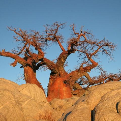 Baobab-Bäume auf einer Felserhöhung, Botswana