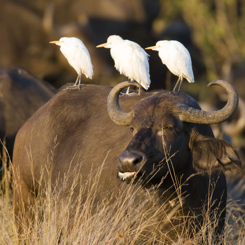 Afrikanischer Büffel im Sonnenuntergang, Botswana