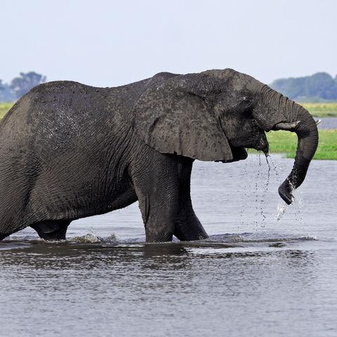 Elefant im Chobe-Fluss, Botswana