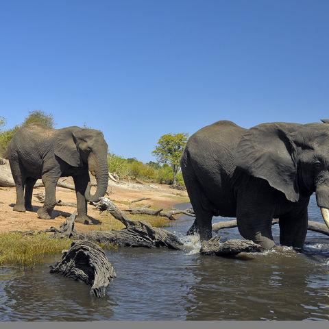 Elefanten nehmen ein Bad im Chobe Fluss, Botswana
