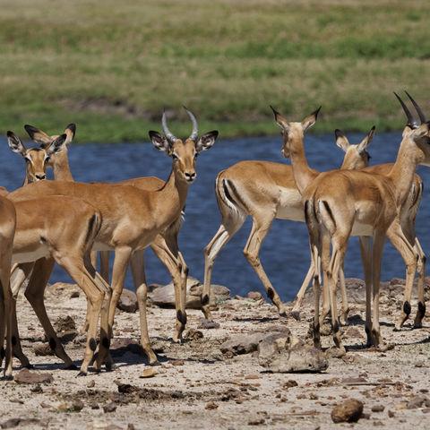 Impalas am Chobe Fluss, Botswana