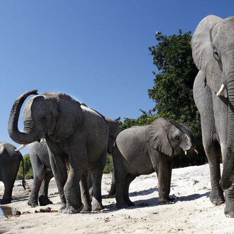 Elefantenherde am Chobe Fluss, Botswana