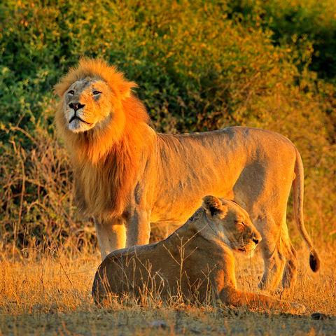 König und Königin der Savanne: Ein Löwenpärchen bei Sonnenuntergang, Chobe Nationalpark, Botswana