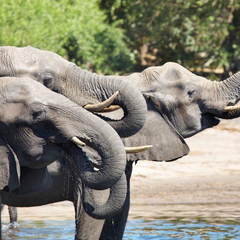 Durstige Elefanten, Botswana