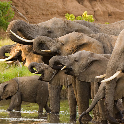 Trinkende Elefantenherde, Botswana