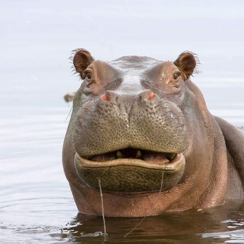 Amüsiertes Flusspferd, Botswana