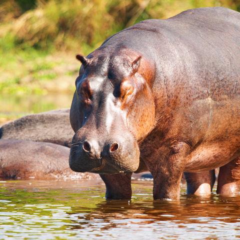 Wildes Flusspferd am Ufer stehend, Botswana