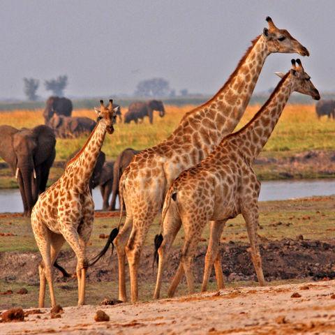 Giraffen und Elefanten © Protea, Dreamstime.com