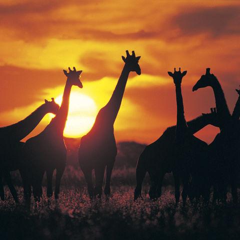 Giraffen im Sonnenuntergang, Botswana