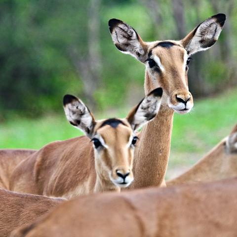 Gruppe von neugierigen Impalas, Botswana