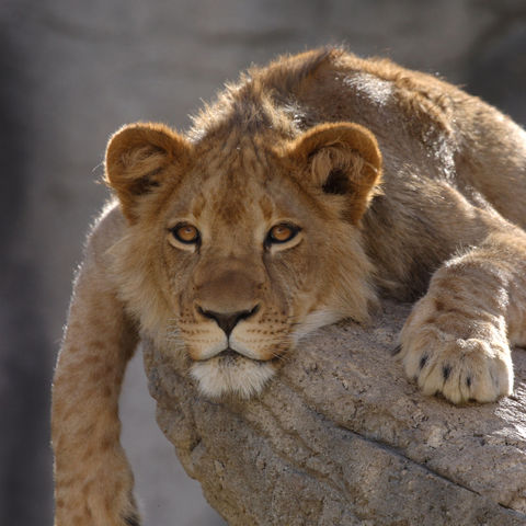Junger Löwe, Botswana