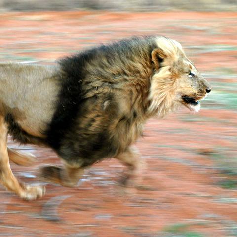 Jagender Löwe, Botswana