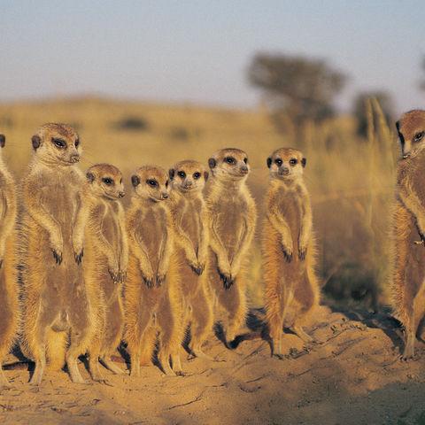 Gruppe von Erdmännchen in der Kalahari Wüste, Botswana