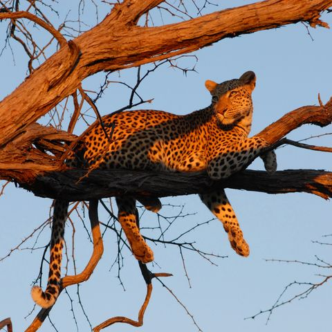 Leopard im Sonnenuntergang, Botswana