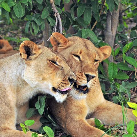 Schmusende Löwen, Botswana