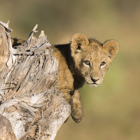 Löwenjunges im Baumstamm, Botswana
