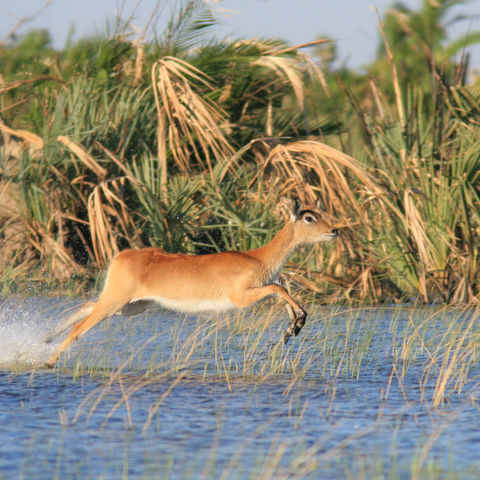 Springende Moorantilope, Botswana