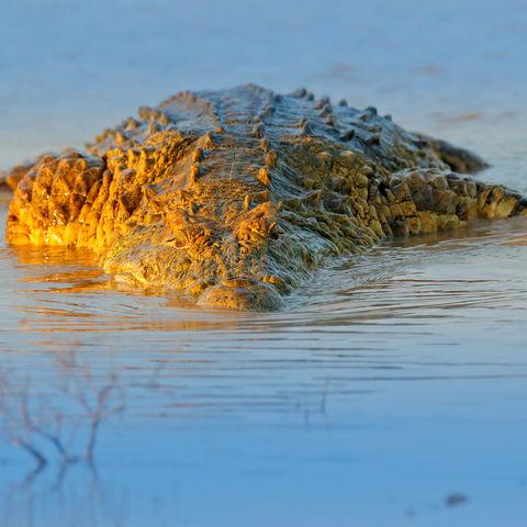 Auf der Lauer: Ein Krokodil bei Abendschimmer im Moremi Game Reserve, Okavango Delta, Botswana