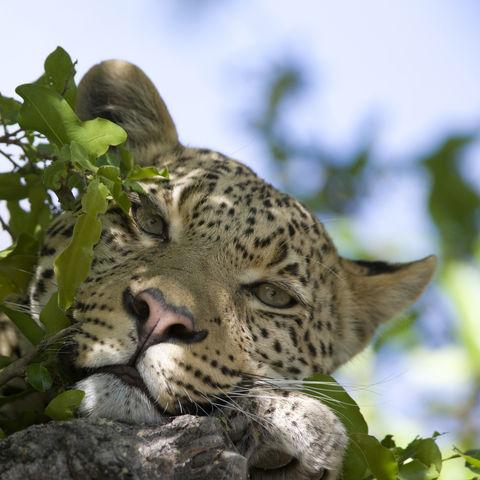 Müder Leopard, Botswana