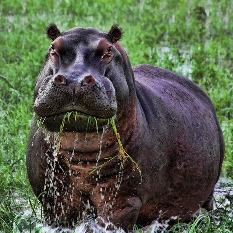 Grasendes Nilpferd, Botswana