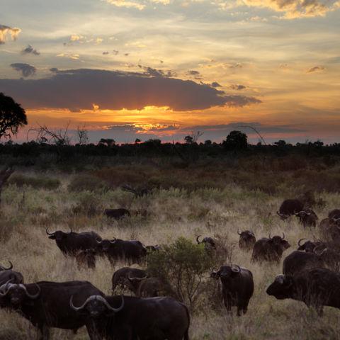 Büffelherde bei Sonnenaufgang im Okavango Delta, Botswana
