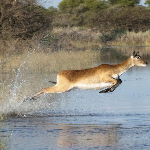 Auf der Flucht im Okavango Delta, Botswana