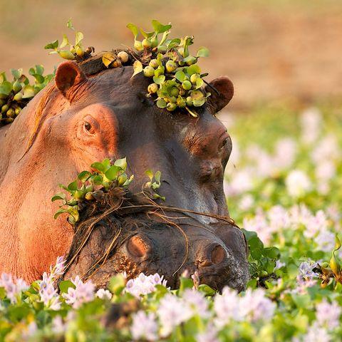 Versteckt im Okavango Delta: ein Flusspferd, Botswana
