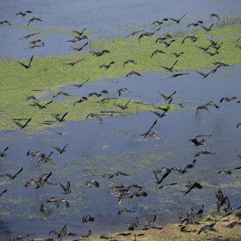Vogelschar im Okavangodelta, Botswana