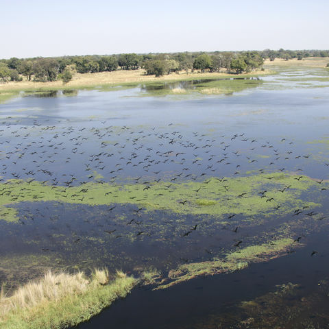 Vogelschwarm über dem Okavangodelta, Botswana