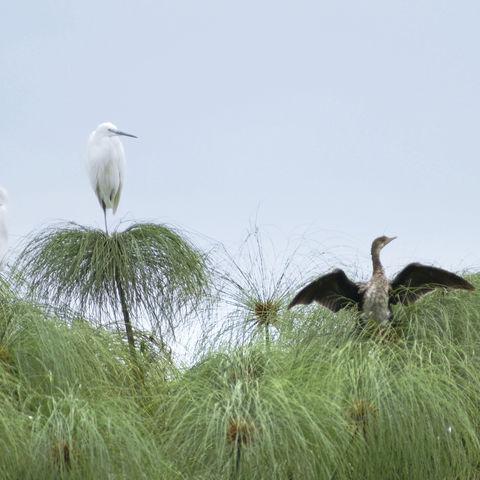 Vögel auf Papyrus Pflanzen, Botswana