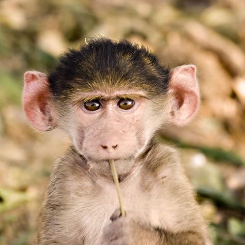 Pavianbaby © Thinkstock, Hemera