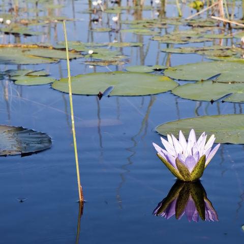 Wasserlilie im Okavango Delta, Botswana