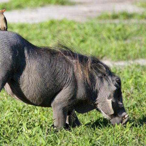 Schnüffelndes Warzenschwein, Botswana
