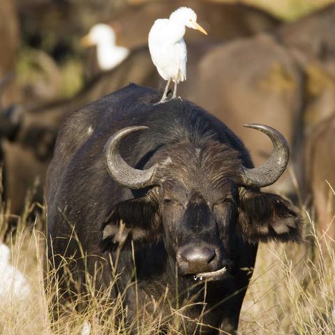 Wasserbüffel und Vogel, Botswana