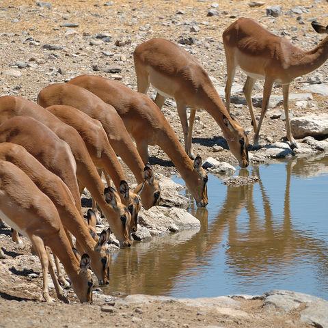 Durstige Impalas, Botswana