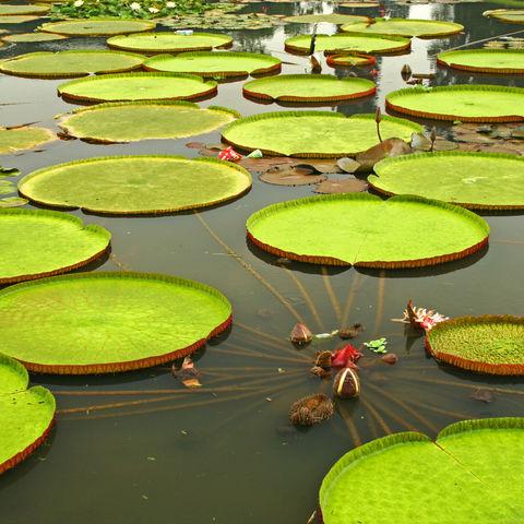 Gigantische Seerosenpflanzen in der Nähe von Manaus, Brasilien