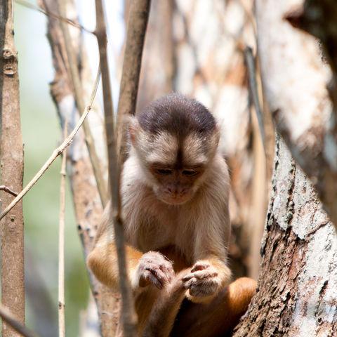 Affe im amzonischen Regenwald, Brasilien