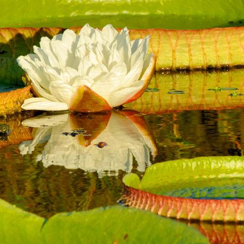 Große Seerose, Brasilien
