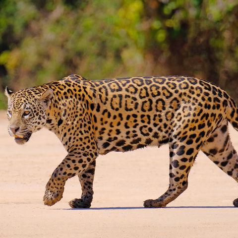 Auf den Spuren des Jaguars, Cuiaba River, Porto Jofre, Pantanal Matogrossense, Mato Grosso do Sul, Brasilien