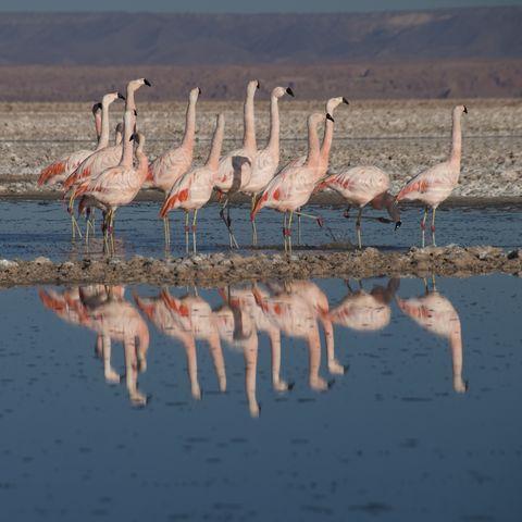 Flamingos in der Laguna Chaxa, Chile