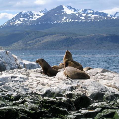 Seelöwen auf Felsen am Beagle Kanal, Chile