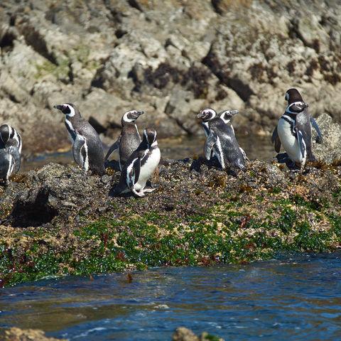 Magellan-Pinguine auf Chiloé, Chile