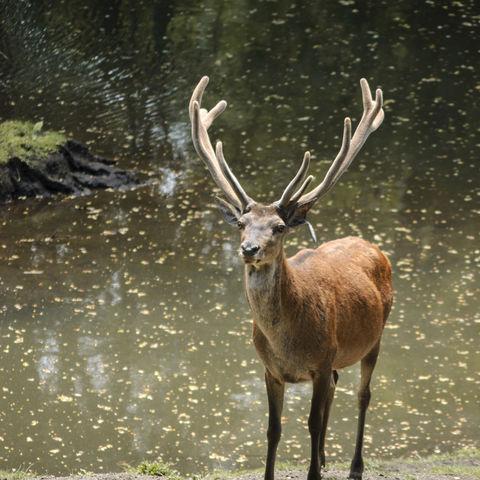 Stolzer Hirsch im Naturreservat Huilo Huilo, Chile