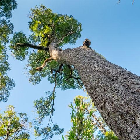 Großer Araukarien-Baum bei Pucon, Chile